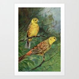 Kuhnert, Friedrich Wilhelm (1865-1926) - Wild Life of the World 1916 v.1 (Yellow Bunting) Art Print