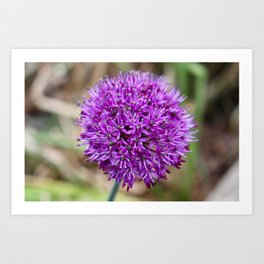 Purple (Broadleaf wild leek) flower. Art Print