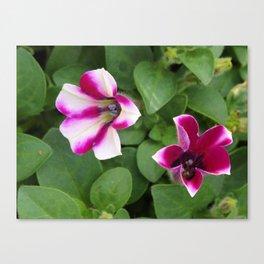Bi-color Calibrachoa Canvas Print