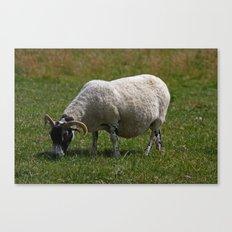 Sheep Baaaaa... Canvas Print
