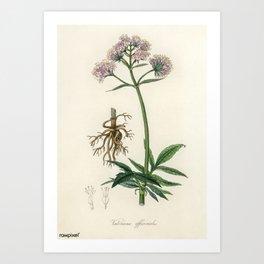 Vintage Botanical Print - 1836 - Valerian (Valeriana officinalis) Art Print