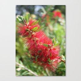 Calliandra Haematocephala Red Powderpuff  Canvas Print