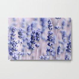 Lavender 0158 Metal Print