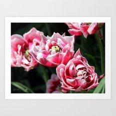Double Late Peony-Flowered Tulip named Horizon Art Print