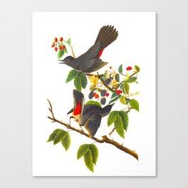 Catbird Vintage Illustration Canvas Print