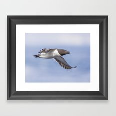 Razorbill in flight Framed Art Print