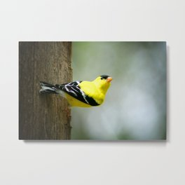 American Goldfinch Alert and Watching Metal Print