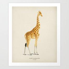 Giraffe (Giraffa camelopardalis) illustrated by Charles Dessalines D' Orbigny (1806-1876) Art Print