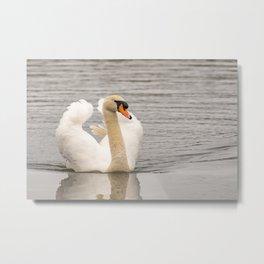 Mute swan swimming along the River Bure Metal Print