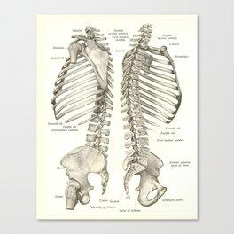 Vintage Human Spine Anatomy Print Canvas Print