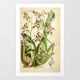 Cyrtochilum zebrinum Art Print