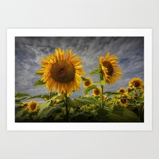 Sunflowers Blooming in a Field Art Print