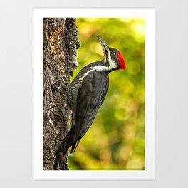 Female Pileated Woodpecker No. 2 Art Print