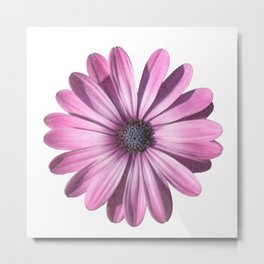 Spectacular African Daisy Isolated Metal Print