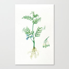 Lentil Canvas Print