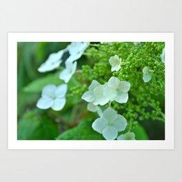 White Hydrangia Art Print