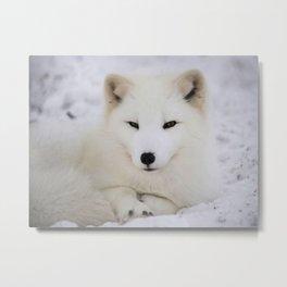 Cute white arctic fox resting in snow Metal Print