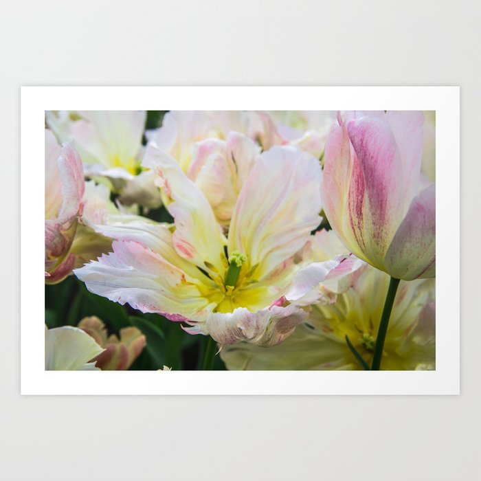 Tulip Petals Kunstdrucke