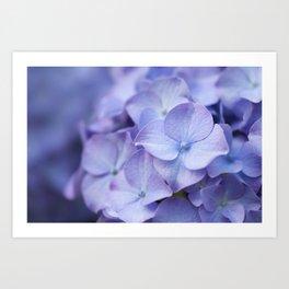 Purple Hydrangea Flower Art Print