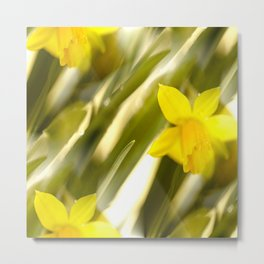 Spring atmosphere with yellow narcissus Metal Print