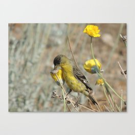 Mr. Lesser Goldfinch Feeds on Seeds Canvas Print