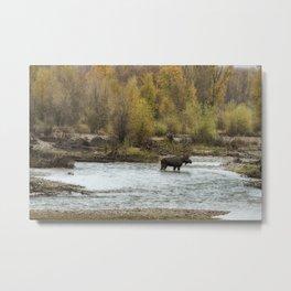 Moose Mid-Stream - Grand Tetons Metal Print