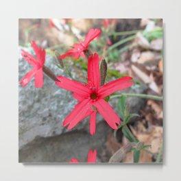 Watercolor Flower, Fire Pink 03, Eno River, North Carolina Metal Print