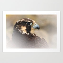 Vignetted Profile of a Peregrine Falcon Art Print