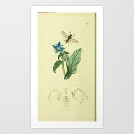 Flower Common Borage borago officinalis18 Art Print