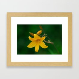 Blossoming Golden Yellow Lily on Green Background Framed Art Print