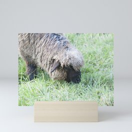 White Sheep with brown face grazing Mini Art Print