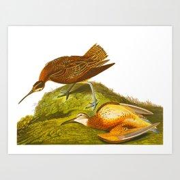 Esquimaux Curlew John James Audubon Scientific Illustration Birds Of America Drawings Art Print