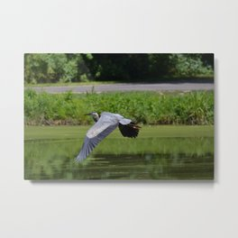 Herron in Flight Metal Print