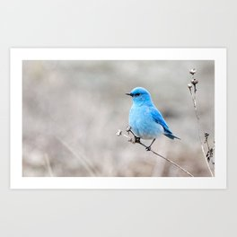 Mountain Bluebird on the Tansy Art Print