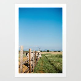 Horny cow behind wooden fence  Art Print