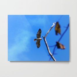 Hawk in flight Metal Print