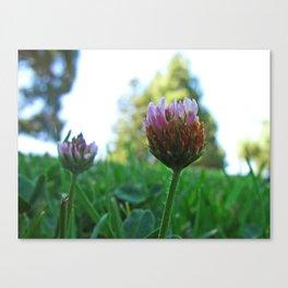 Santa Barbara Clover Blossom 2525 Canvas Print