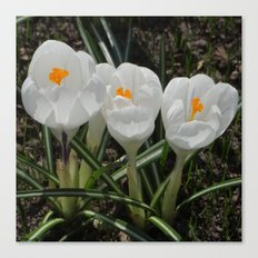 Three Little White Flowers Canvas Print