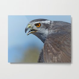Northern Goshawk Screeching Metal Print