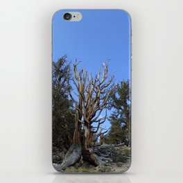 Forest trees 4,000 years old iPhone Skin