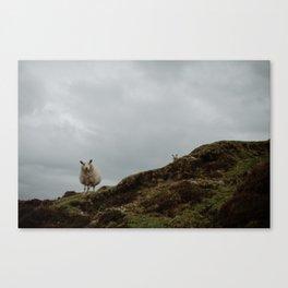 Two Sheep. Canvas Print