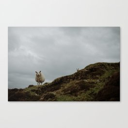 Two Sheep. Canvas Print
