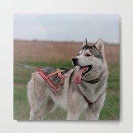 Siberian Husky sled dog Metal Print