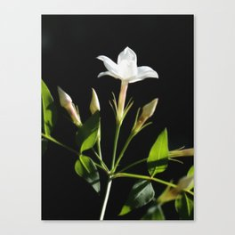 Close Up Of Jasminum Officinale Canvas Print