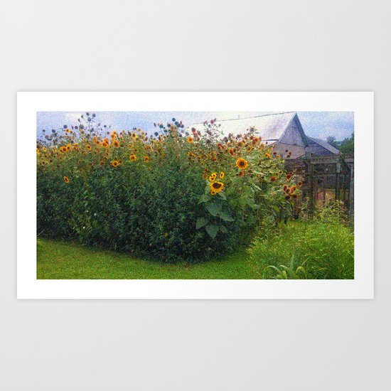 Sunflowers Overgrow the Barn Art Print