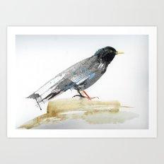 Australian Starling Art Print