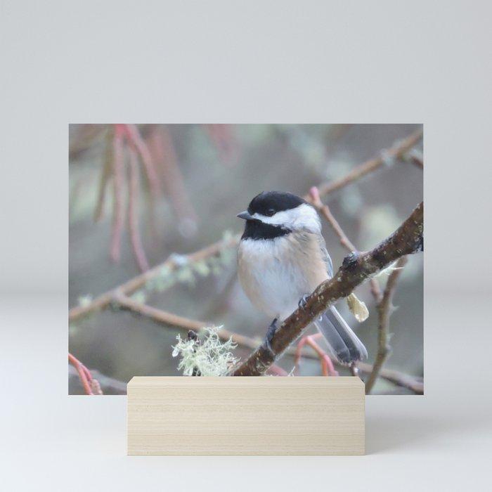 Chickadee in the Alder Tree Mini Art Print