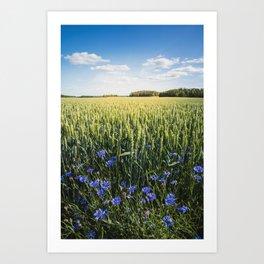 Summer Fields and Cornflower Art Print