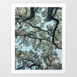 Oaks from below, Austin, Texas Art Print