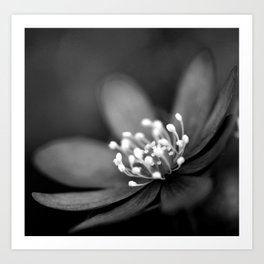 Blue spring flower Hepatica in bw II Art Print